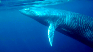 whale 52 hertz
